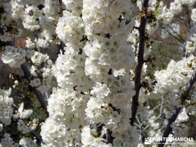Cerezos en flor en el Valle del Jerte - Senderismo Caceres;pueblos de madrid senderos montañas